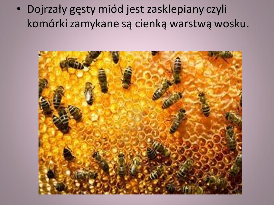 Pszczoły zbieraczki pobierają nektar z kwiatów i przynoszą do ula. W ulu przekazują nektar pszczołom ulowym, które roznoszą nektar po wielu komórkach