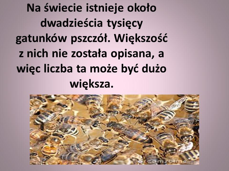 Na świecie istnieje około dwadzieścia tysięcy gatunków pszczół.