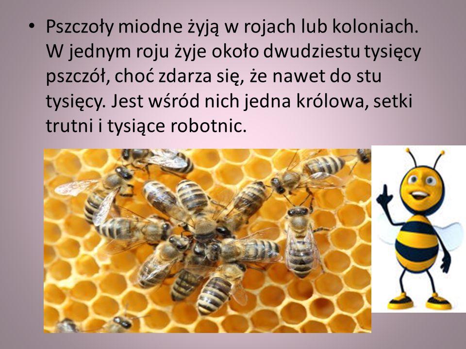 Pszczoły miodne żyją w rojach lub koloniach.