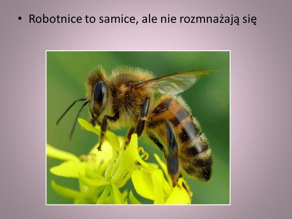 Pszczoły miodne żyją w rojach lub koloniach. W jednym roju żyje około dwudziestu tysięcy pszczół, choć zdarza się, że nawet do stu tysięcy. Jest wśród