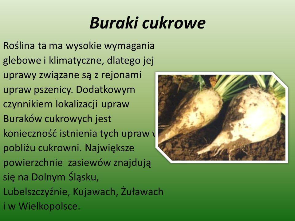 Buraki cukrowe Roślina ta ma wysokie wymagania glebowe i klimatyczne, dlatego jej uprawy związane są z rejonami upraw pszenicy. Dodatkowym czynnikiem