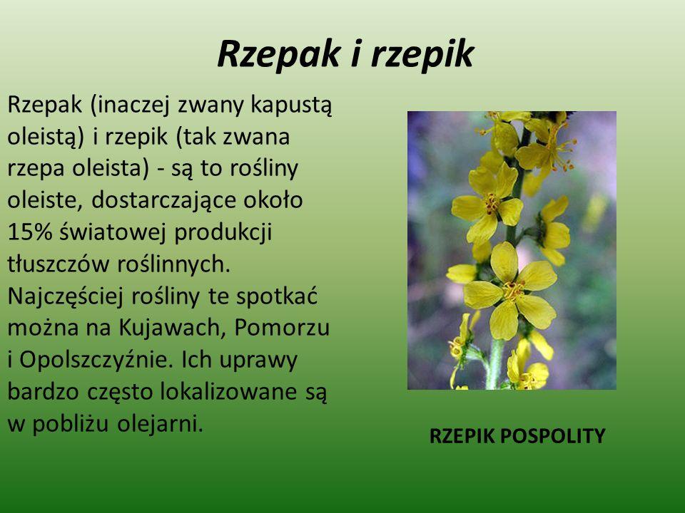Rzepak i rzepik Rzepak (inaczej zwany kapustą oleistą) i rzepik (tak zwana rzepa oleista) - są to rośliny oleiste, dostarczające około 15% światowej p