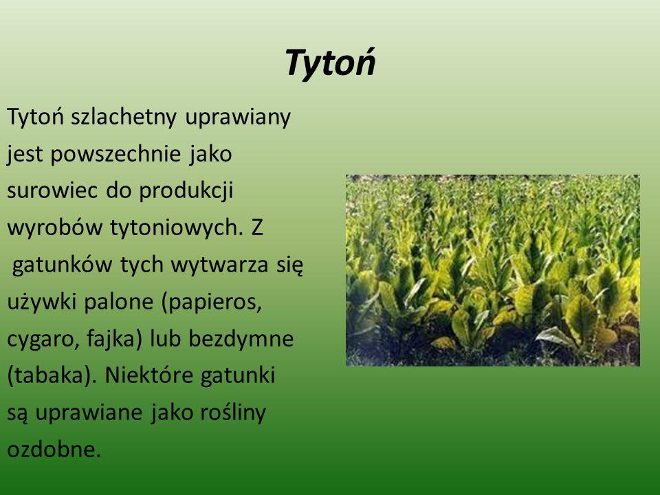 Tytoń Tytoń szlachetny uprawiany jest powszechnie jako surowiec do produkcji wyrobów tytoniowych. Z gatunków tych wytwarza się używki palone (papieros