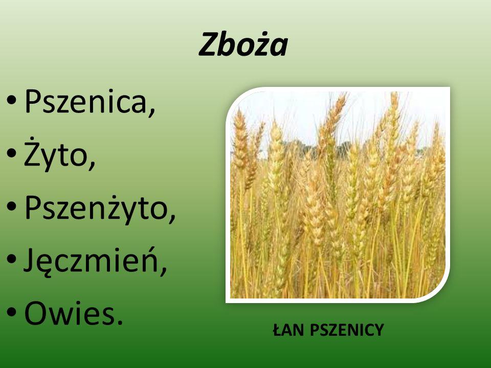 Zboża Pszenica, Żyto, Pszenżyto, Jęczmień, Owies. ŁAN PSZENICY