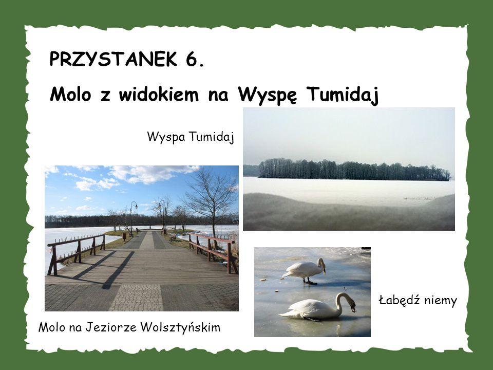 PRZYSTANEK 6. Molo z widokiem na Wyspę Tumidaj Wyspa Tumidaj Molo na Jeziorze Wolsztyńskim Łabędź niemy
