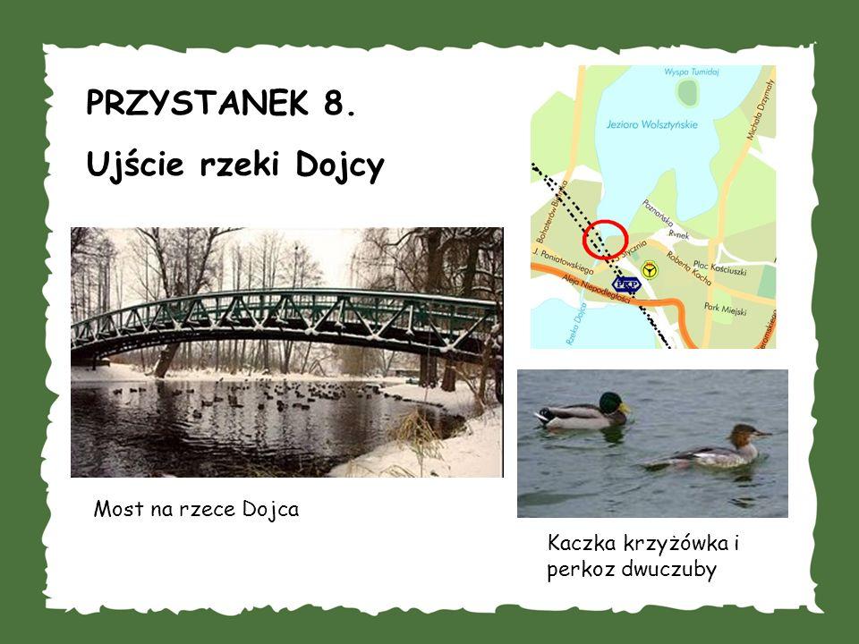 PRZYSTANEK 8. Ujście rzeki Dojcy Most na rzece Dojca Kaczka krzyżówka i perkoz dwuczuby
