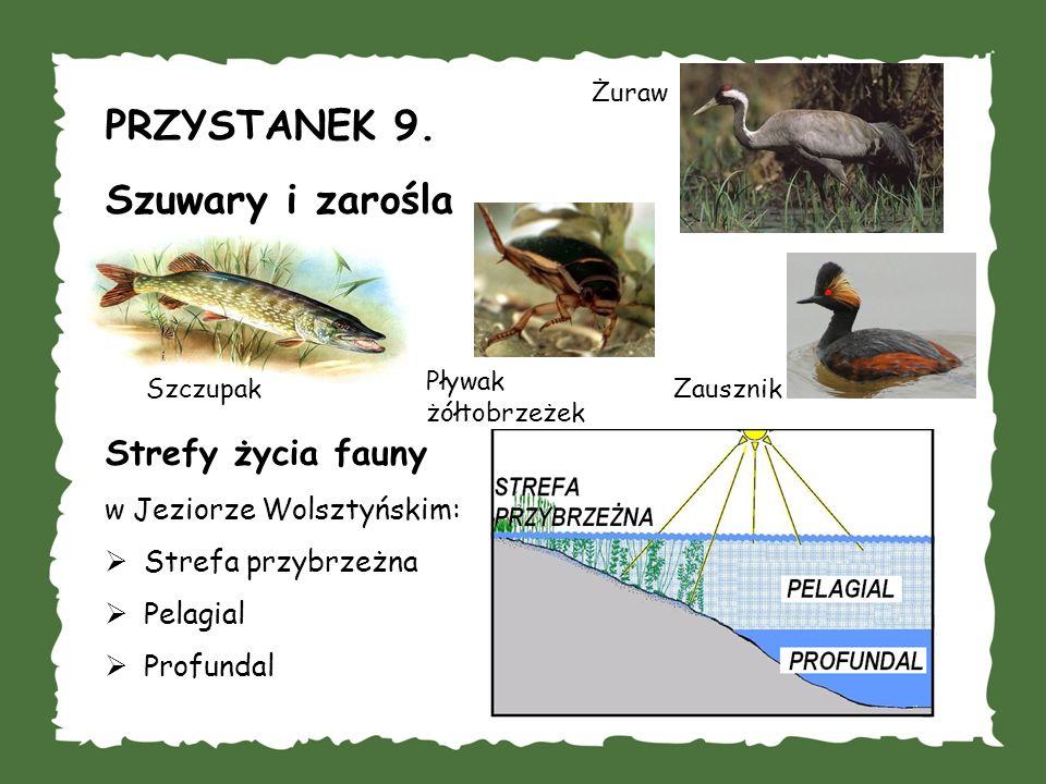 PRZYSTANEK 9. Szuwary i zarośla Strefy życia fauny w Jeziorze Wolsztyńskim: Strefa przybrzeżna Pelagial Profundal Szczupak Pływak żółtobrzeżek Zauszni