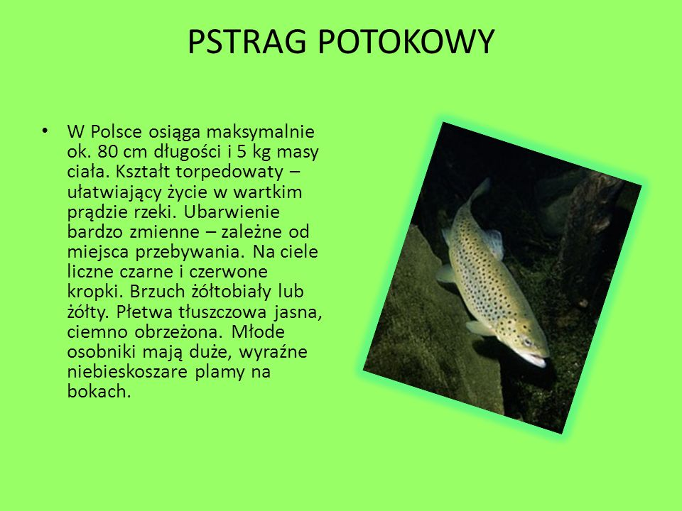 PSTRAG POTOKOWY W Polsce osiąga maksymalnie ok. 80 cm długości i 5 kg masy ciała. Kształt torpedowaty – ułatwiający życie w wartkim prądzie rzeki. Uba