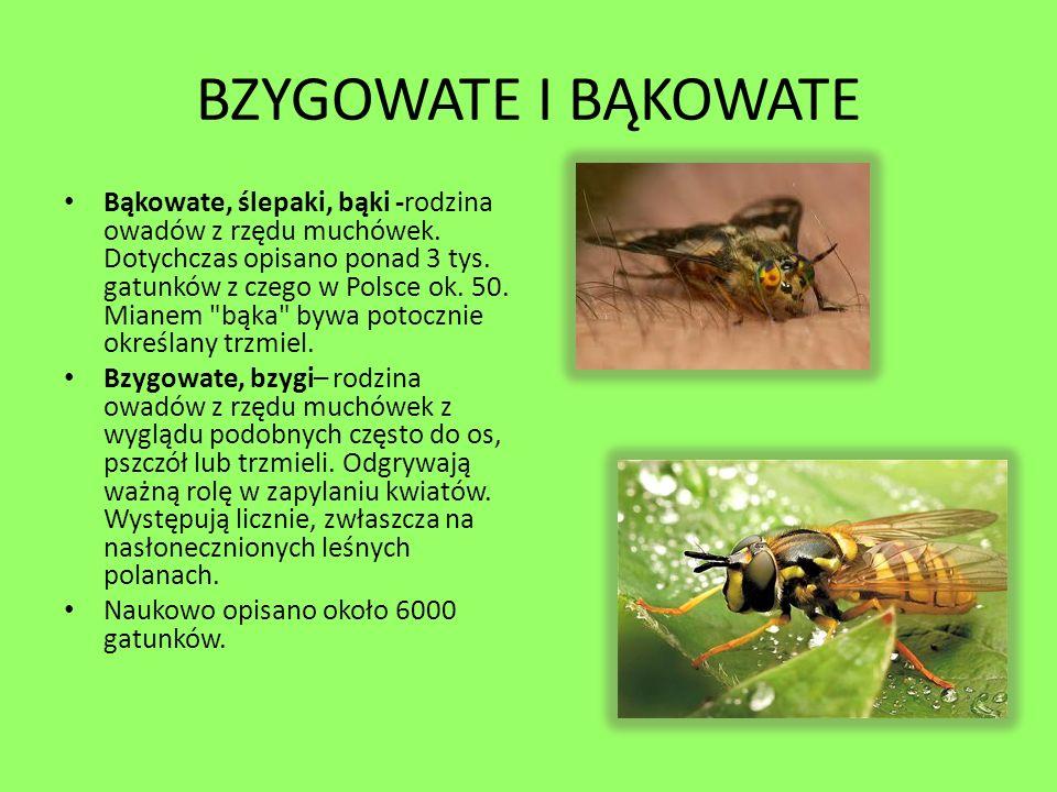 BZYGOWATE I BĄKOWATE Bąkowate, ślepaki, bąki -rodzina owadów z rzędu muchówek. Dotychczas opisano ponad 3 tys. gatunków z czego w Polsce ok. 50. Miane