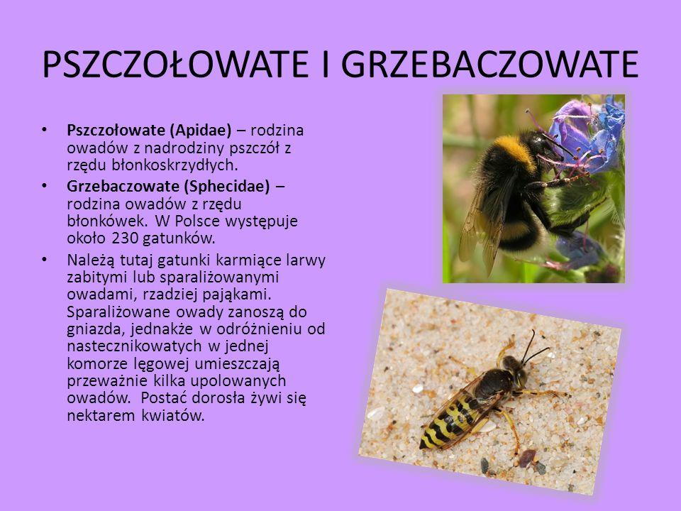 PSZCZOŁOWATE I GRZEBACZOWATE Pszczołowate (Apidae) – rodzina owadów z nadrodziny pszczół z rzędu błonkoskrzydłych. Grzebaczowate (Sphecidae) – rodzina