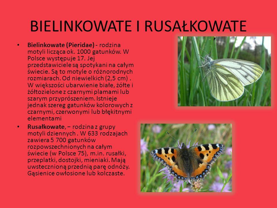BIELINKOWATE I RUSAŁKOWATE Bielinkowate (Pieridae) - rodzina motyli licząca ok. 1000 gatunków. W Polsce występuje 17. Jej przedstawiciele są spotykani