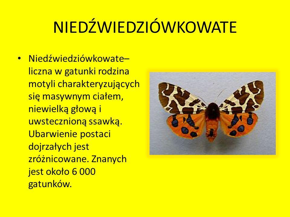NIEDŹWIEDZIÓWKOWATE Niedźwiedziówkowate– liczna w gatunki rodzina motyli charakteryzujących się masywnym ciałem, niewielką głową i uwstecznioną ssawką