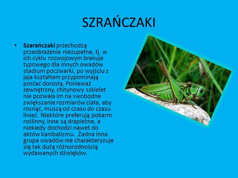 SZRAŃCZAKI Szarańczaki przechodzą przeobrażenie niezupełne, tj. w ich cyklu rozwojowym brakuje typowego dla innych owadów stadium poczwarki, po wyjści