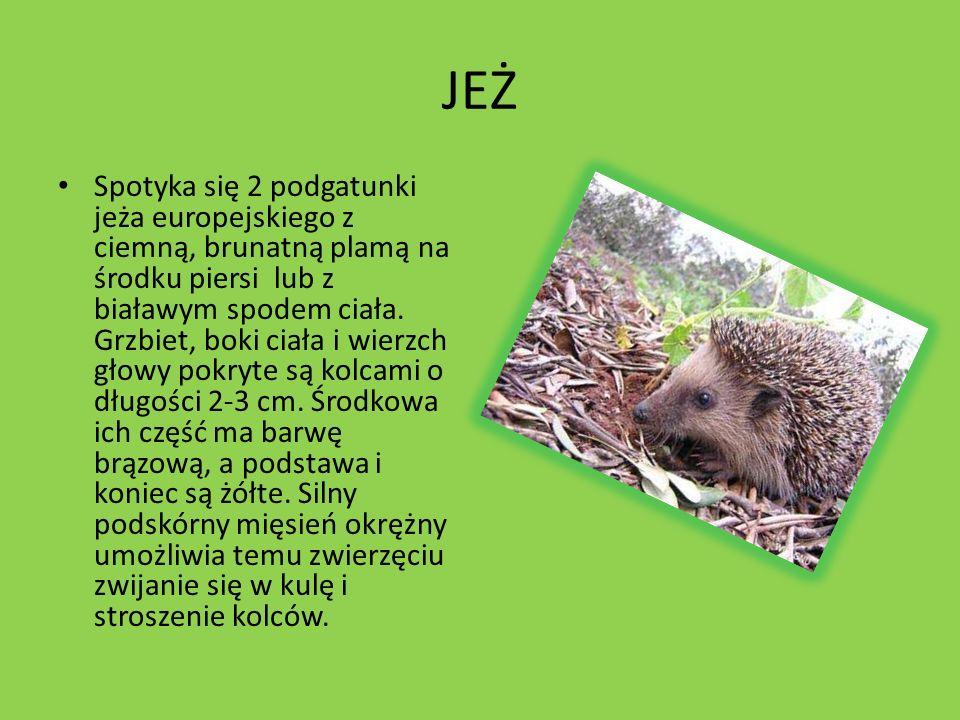 KRET Kret europejski (Talpa europaea) – gatunek owadożernego ssaka z rodziny kretowatych, zwyczajowo nazywany kretem.Zamieszkuje łąki i pola Europy i Azji Środkowej.