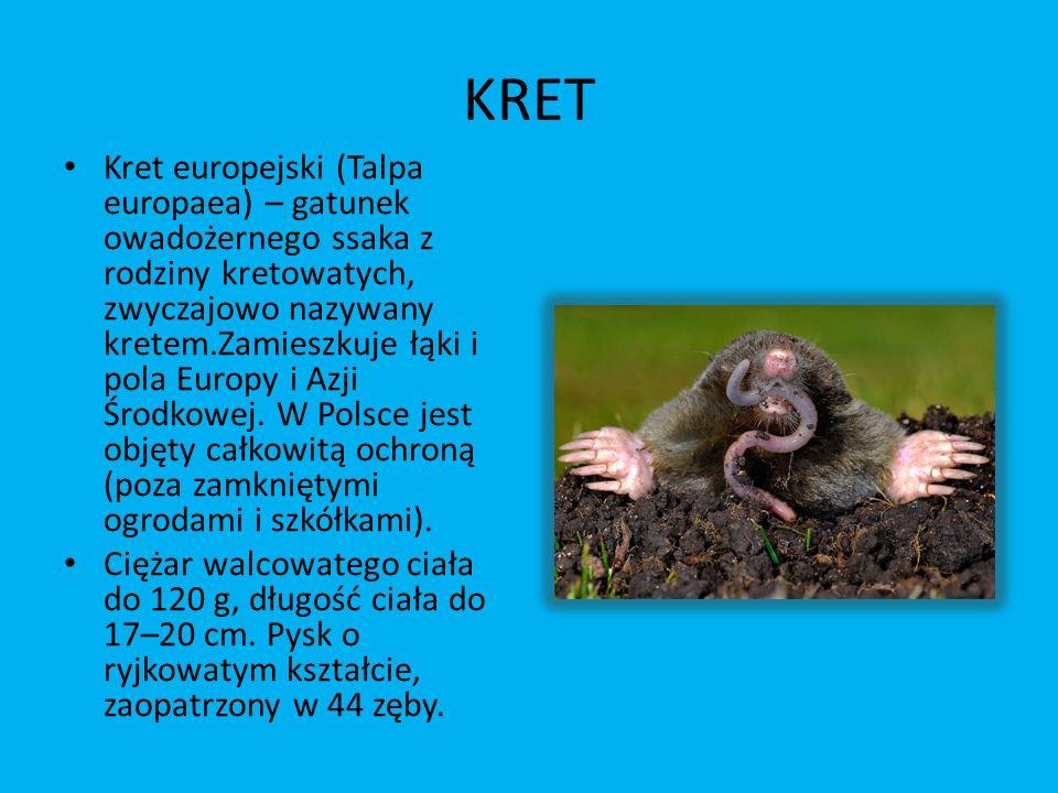 KRET Kret europejski (Talpa europaea) – gatunek owadożernego ssaka z rodziny kretowatych, zwyczajowo nazywany kretem.Zamieszkuje łąki i pola Europy i