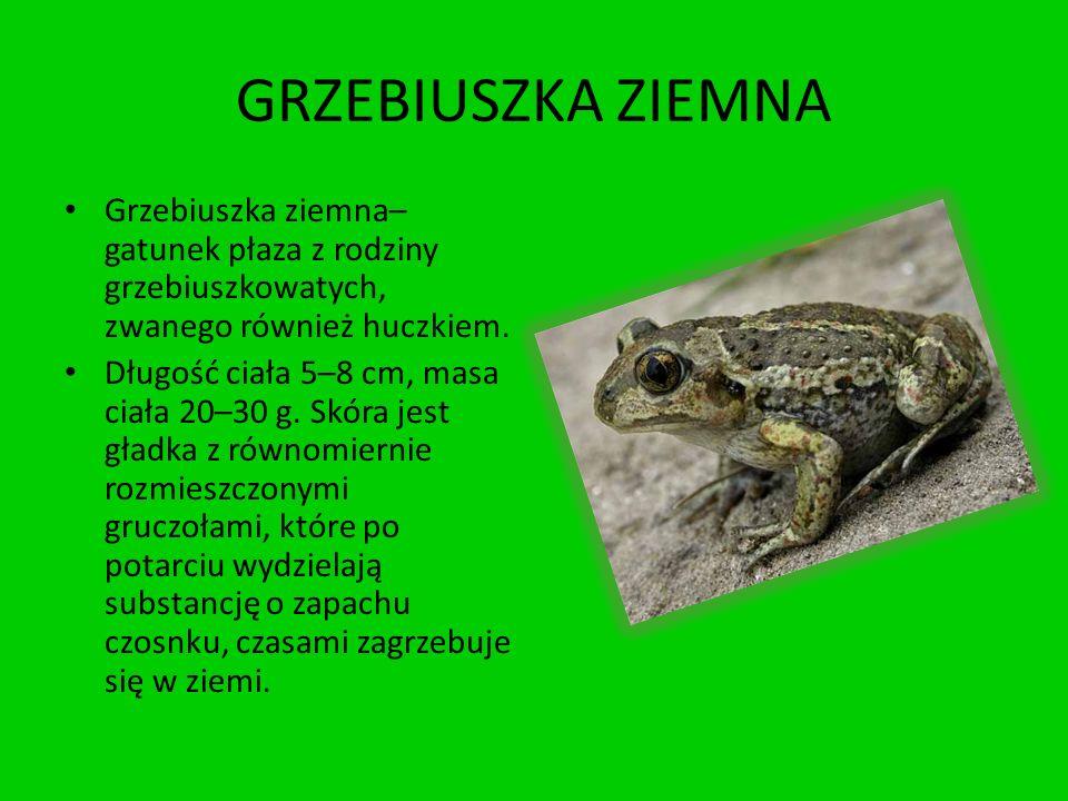 GRZEBIUSZKA ZIEMNA Grzebiuszka ziemna– gatunek płaza z rodziny grzebiuszkowatych, zwanego również huczkiem. Długość ciała 5–8 cm, masa ciała 20–30 g.
