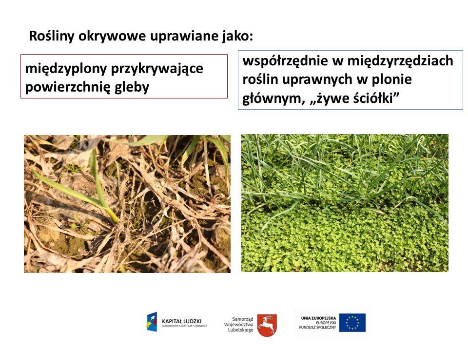 Rośliny okrywowe uprawiane jako: międzyplony przykrywające powierzchnię gleby współrzędnie w międzyrzędziach roślin uprawnych w plonie głównym, żywe ś
