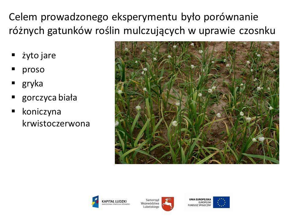 Celem prowadzonego eksperymentu było porównanie różnych gatunków roślin mulczujących w uprawie czosnku żyto jare proso gryka gorczyca biała koniczyna