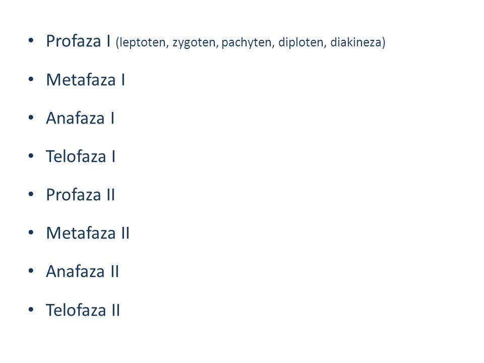 Profaza I (leptoten, zygoten, pachyten, diploten, diakineza) Metafaza I Anafaza I Telofaza I Profaza II Metafaza II Anafaza II Telofaza II