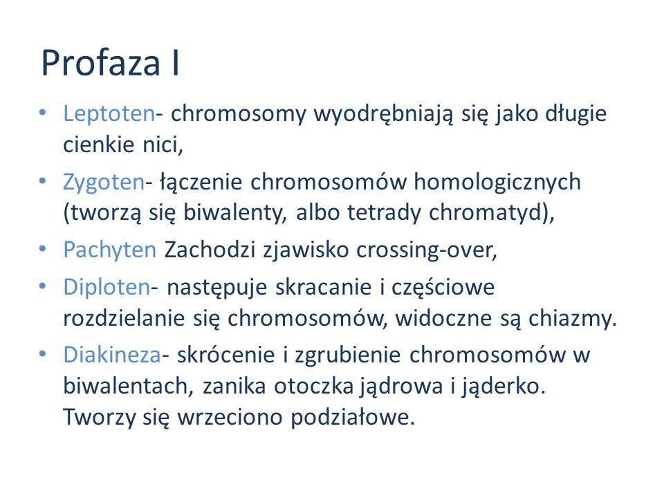 Profaza I Leptoten- chromosomy wyodrębniają się jako długie cienkie nici, Zygoten- łączenie chromosomów homologicznych (tworzą się biwalenty, albo tet