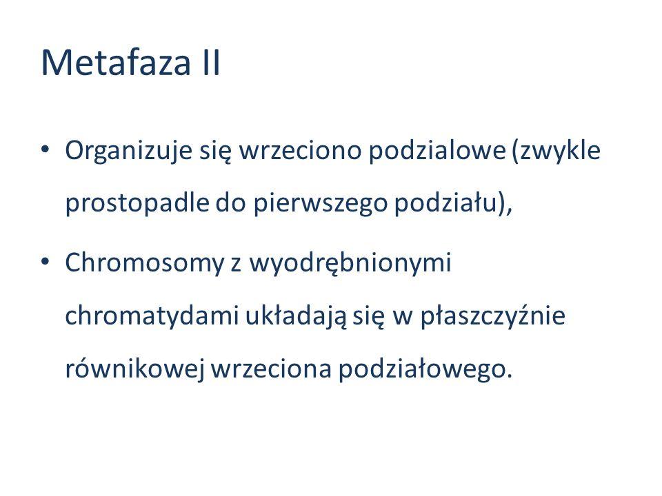Metafaza II Organizuje się wrzeciono podzialowe (zwykle prostopadle do pierwszego podziału), Chromosomy z wyodrębnionymi chromatydami układają się w p
