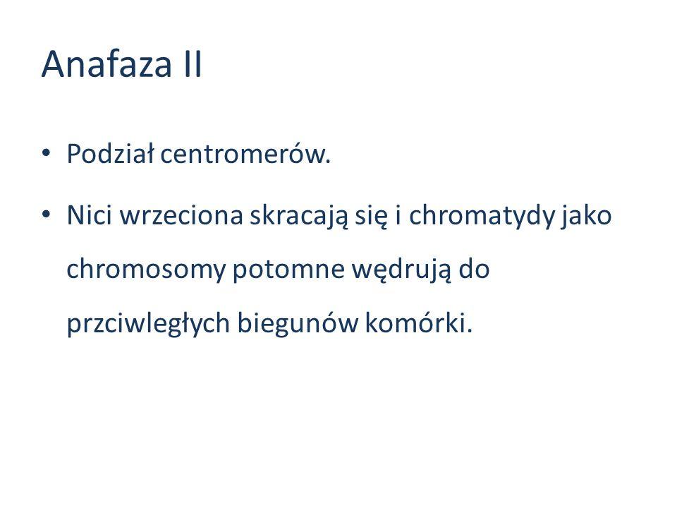 Anafaza II Podział centromerów. Nici wrzeciona skracają się i chromatydy jako chromosomy potomne wędrują do przciwległych biegunów komórki.
