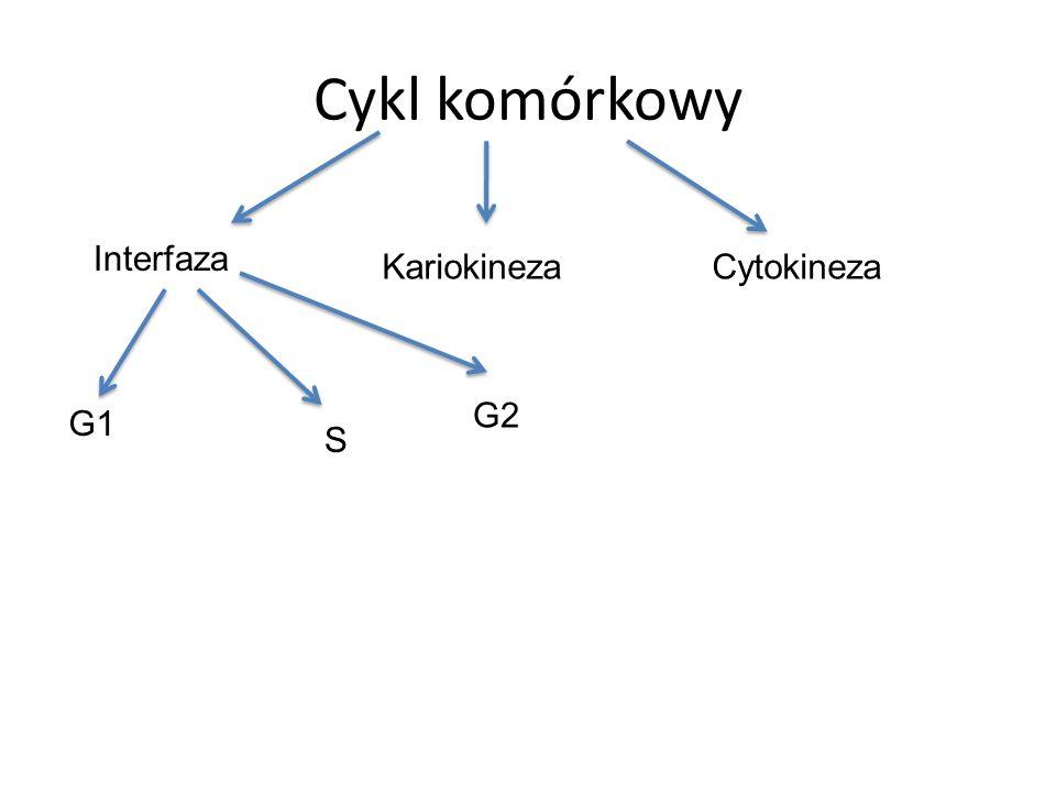 Cykl komórkowy Interfaza KariokinezaCytokineza G1 S G2