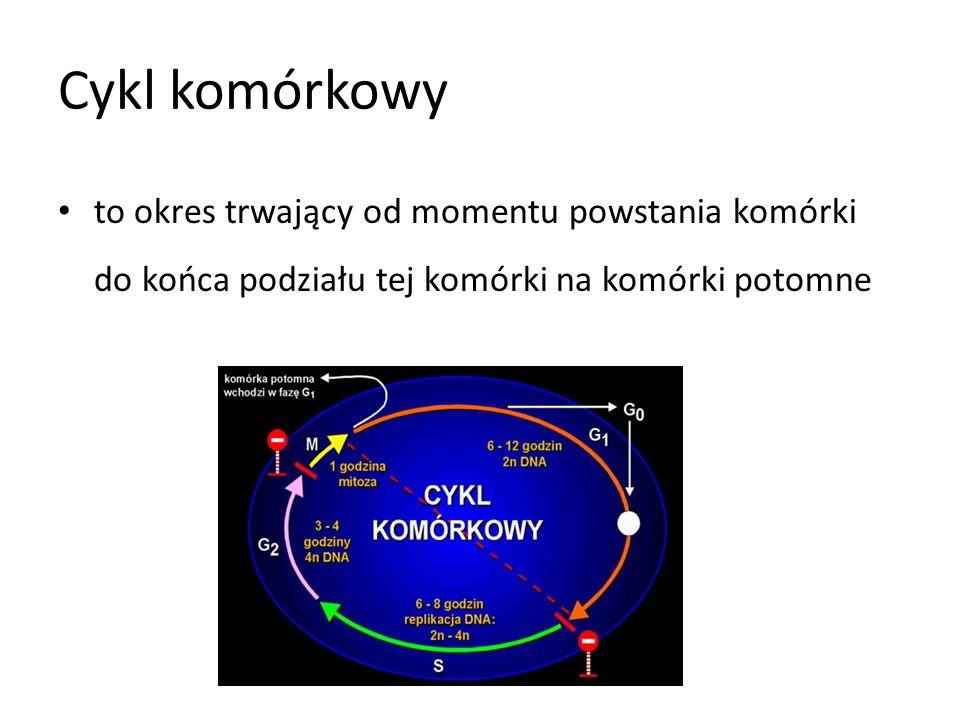 Cykl komórkowy to okres trwający od momentu powstania komórki do końca podziału tej komórki na komórki potomne