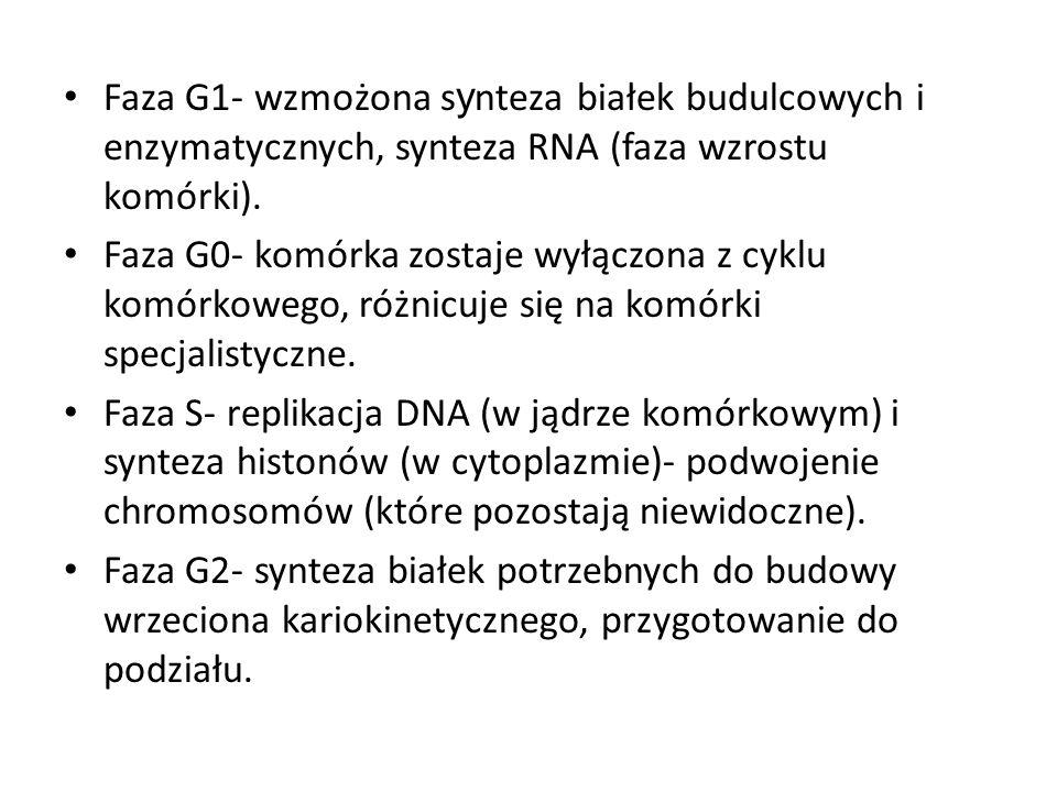 Faza G1- wzmożona s y nteza białek budulcowych i enzymatycznych, synteza RNA (faza wzrostu komórki). Faza G0- komórka zostaje wyłączona z cyklu komórk