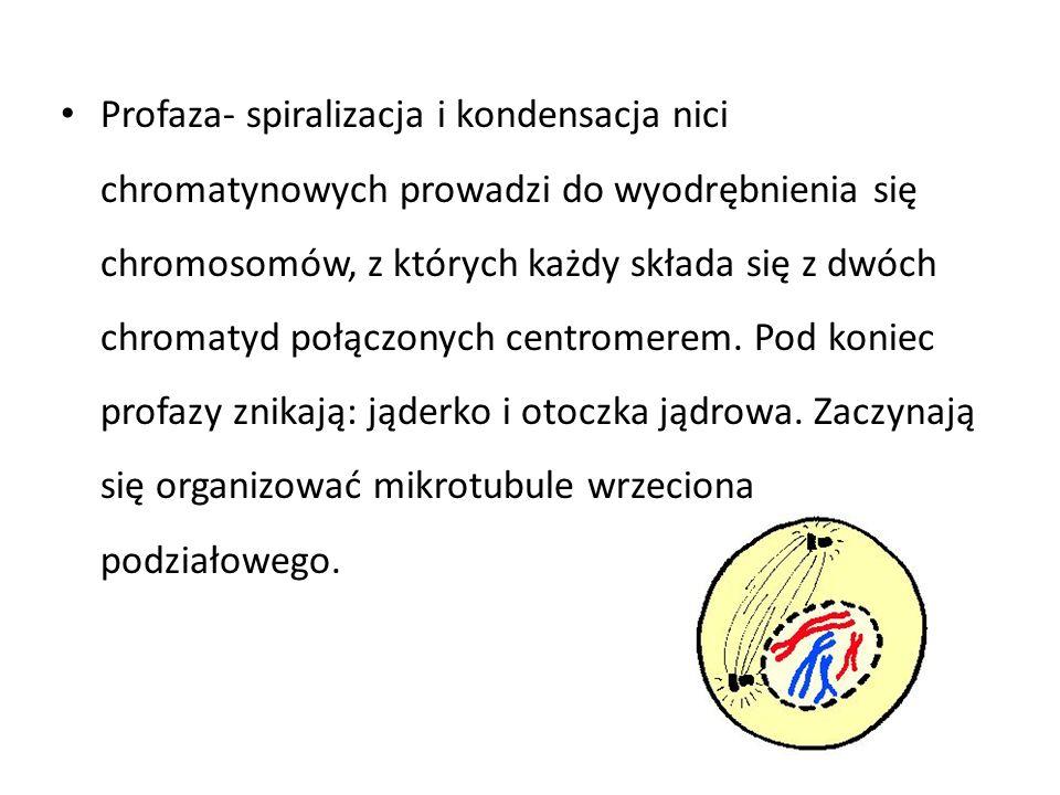 Profaza- spiralizacja i kondensacja nici chromatynowych prowadzi do wyodrębnienia się chromosomów, z których każdy składa się z dwóch chromatyd połącz