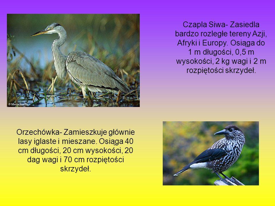 Czapla Siwa- Zasiedla bardzo rozległe tereny Azji, Afryki i Europy. Osiąga do 1 m długości, 0,5 m wysokości, 2 kg wagi i 2 m rozpiętości skrzydeł. Orz