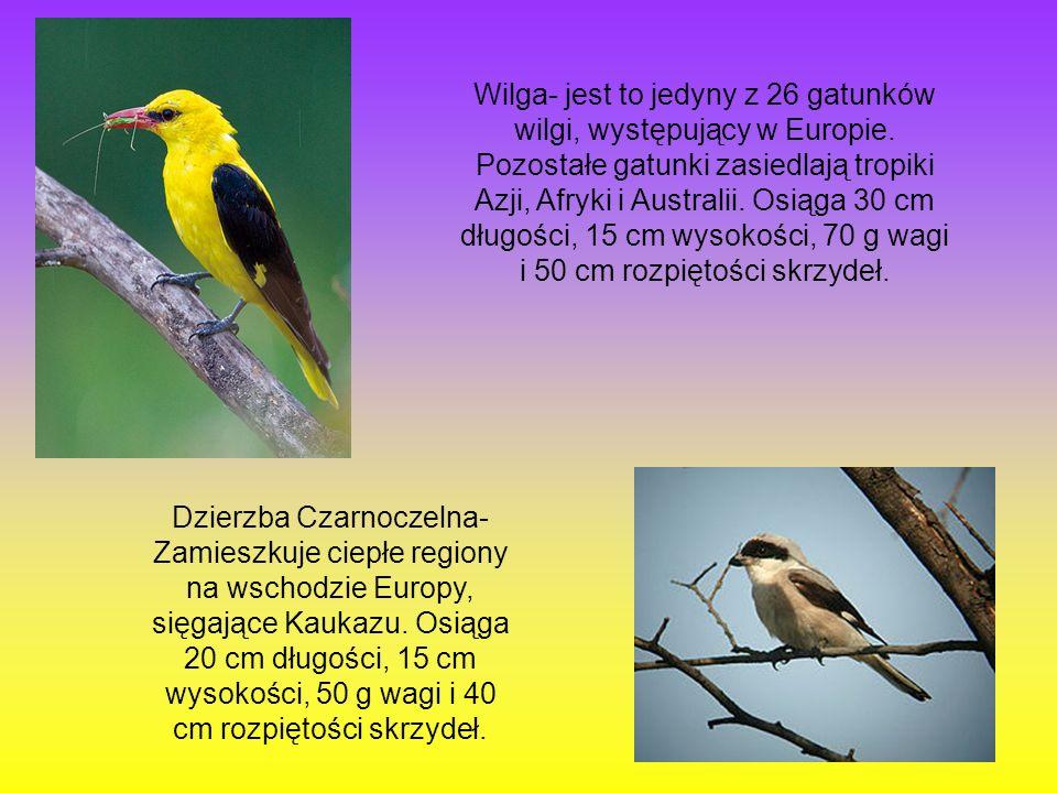 Wilga- jest to jedyny z 26 gatunków wilgi, występujący w Europie. Pozostałe gatunki zasiedlają tropiki Azji, Afryki i Australii. Osiąga 30 cm długości
