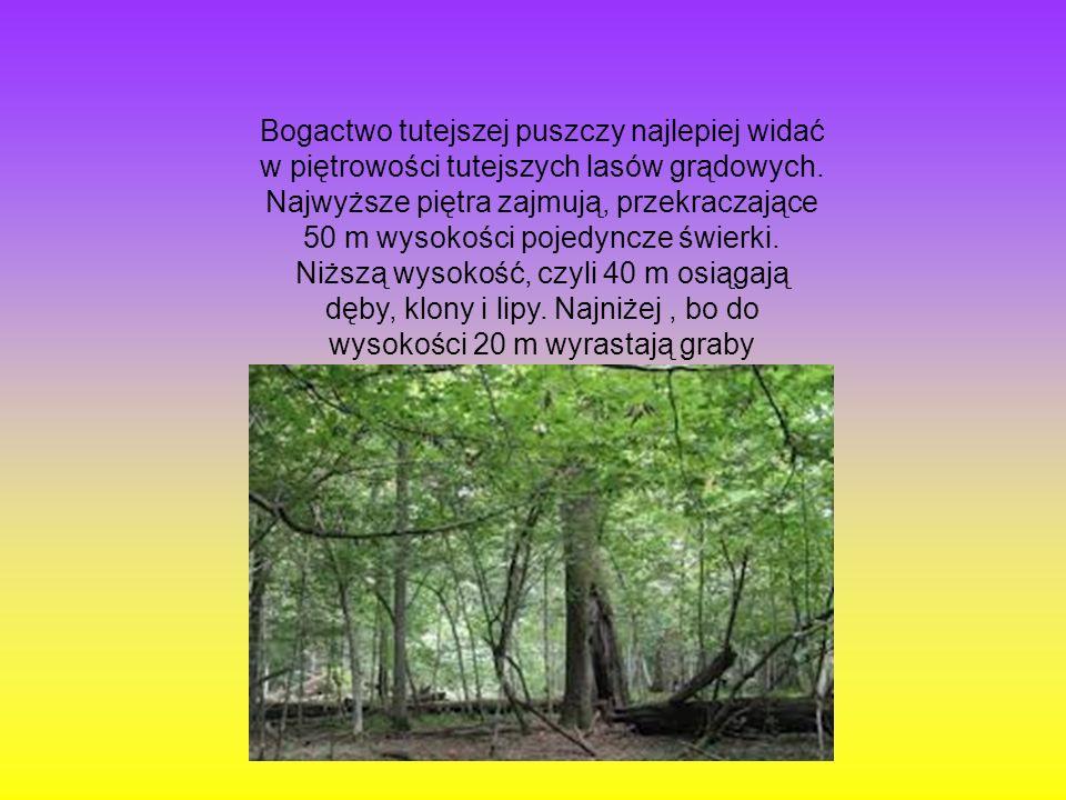Bogactwo tutejszej puszczy najlepiej widać w piętrowości tutejszych lasów grądowych. Najwyższe piętra zajmują, przekraczające 50 m wysokości pojedyncz