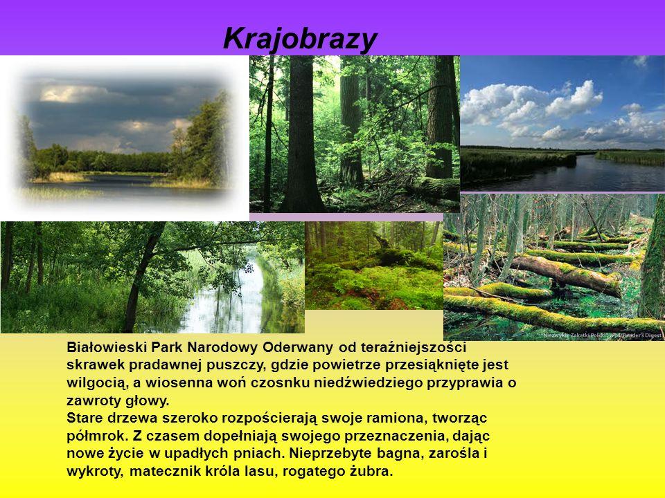 Krajobrazy Białowieski Park Narodowy Oderwany od teraźniejszości skrawek pradawnej puszczy, gdzie powietrze przesiąknięte jest wilgocią, a wiosenna woń czosnku niedźwiedziego przyprawia o zawroty głowy.