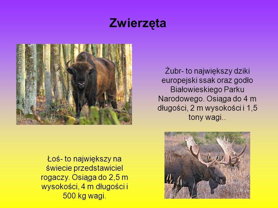 Zwierzęta Żubr- to największy dziki europejski ssak oraz godło Białowieskiego Parku Narodowego. Osiąga do 4 m długości, 2 m wysokości i 1,5 tony wagi.