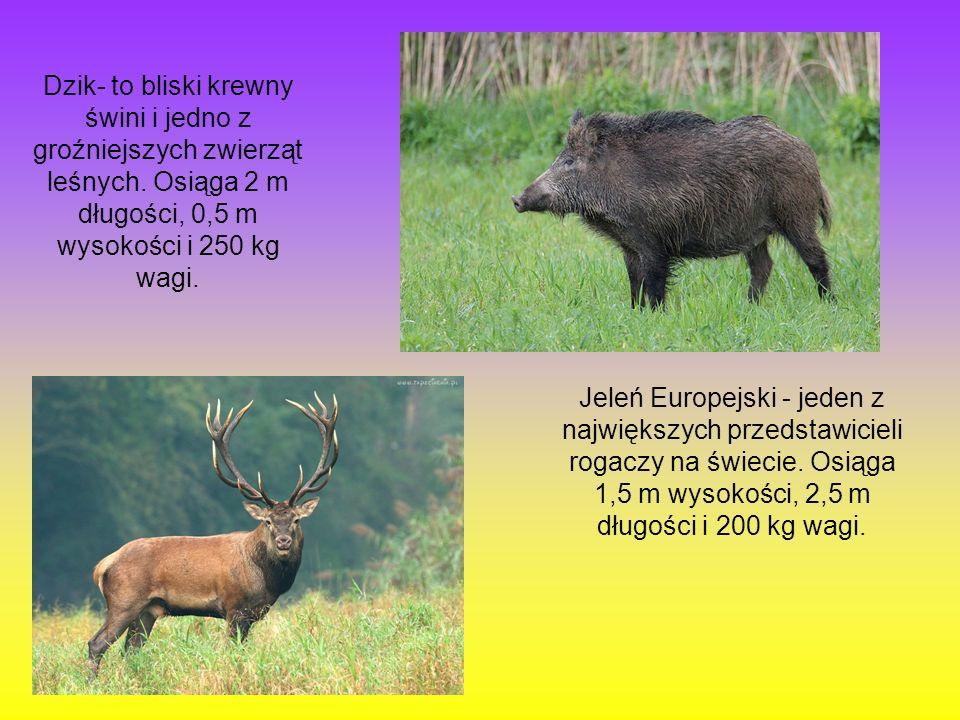 Dzik- to bliski krewny świni i jedno z groźniejszych zwierząt leśnych. Osiąga 2 m długości, 0,5 m wysokości i 250 kg wagi. Jeleń Europejski - jeden z