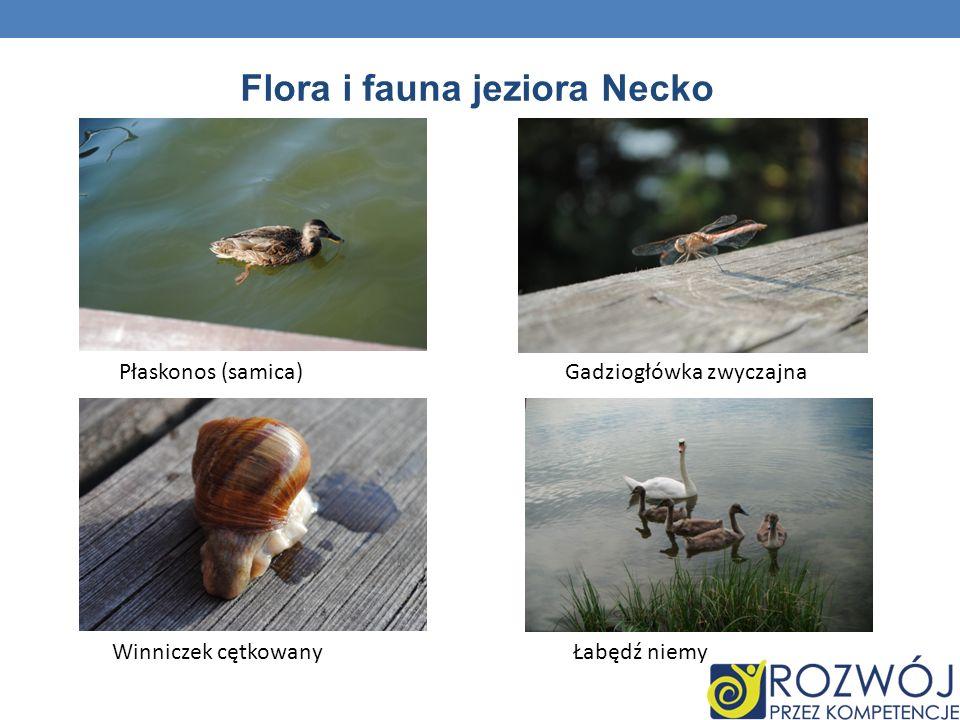 Flora i fauna jeziora Necko Płaskonos (samica)Gadziogłówka zwyczajna Winniczek cętkowanyŁabędź niemy