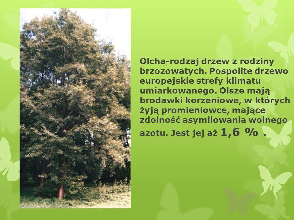 Brzoza-rodzaj drzew, rzadziej wysokich krzewów, zaliczony do rodziny bukowatych.