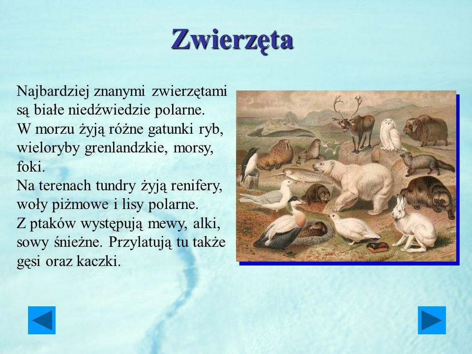 Zwierzęta Najbardziej znanymi zwierzętami są białe niedźwiedzie polarne. W morzu żyją różne gatunki ryb, wieloryby grenlandzkie, morsy, foki. Na teren