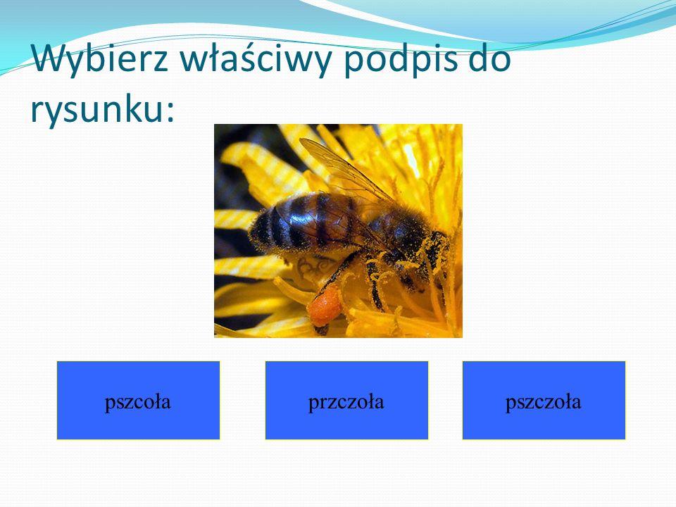Wybierz właściwy podpis do rysunku: pszcołaprzczołapszczoła