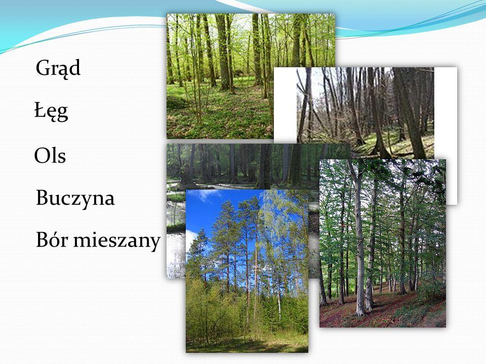 Las iglasty Lasy iglaste występują głównie na słabych glebach bielicowych.