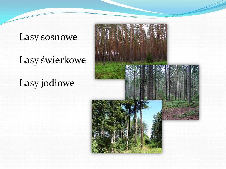 Lasy sosnowe Lasy świerkowe Lasy jodłowe