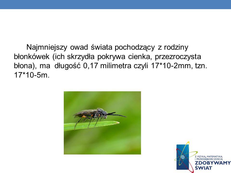 Najmniejszy owad świata pochodzący z rodziny błonkówek (ich skrzydła pokrywa cienka, przezroczysta błona), ma długość 0,17 milimetra czyli 17*10-2mm,