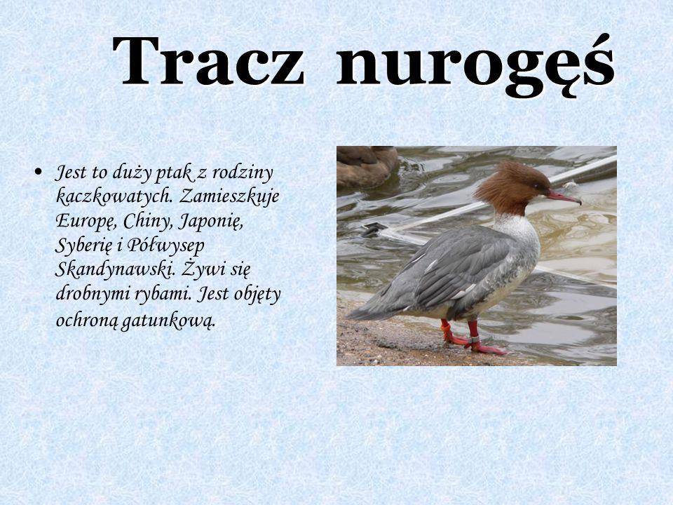 Tracz nurogęś Jest to duży ptak z rodziny kaczkowatych. Zamieszkuje Europę, Chiny, Japonię, Syberię i Półwysep Skandynawski. Żywi się drobnymi rybami.
