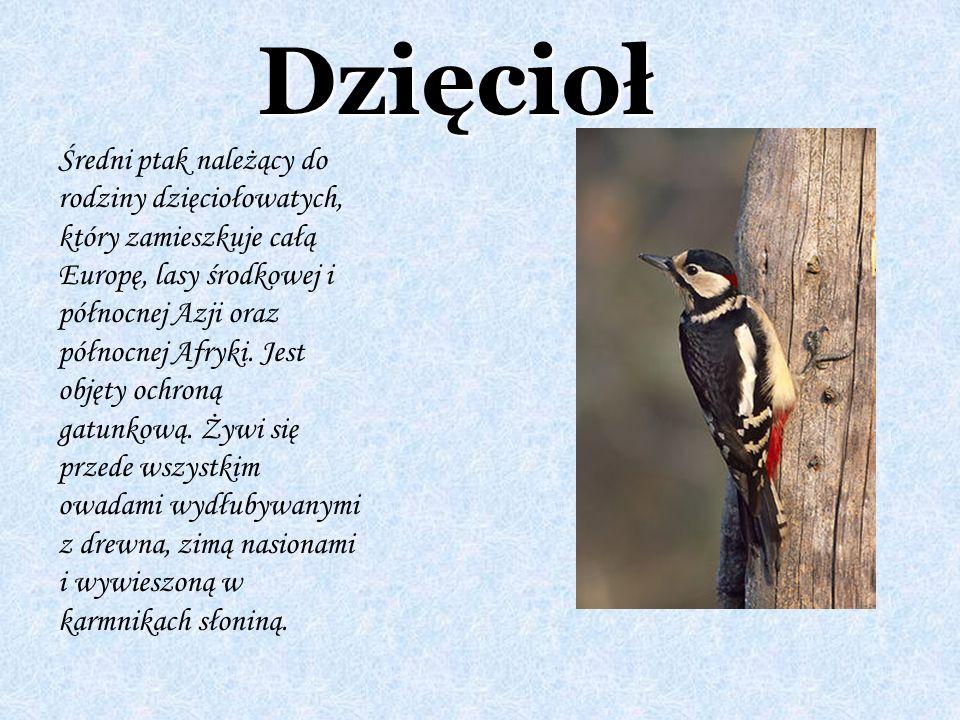 Dzięcioł Średni ptak należący do rodziny dzięciołowatych, który zamieszkuje całą Europę, lasy środkowej i północnej Azji oraz północnej Afryki. Jest o
