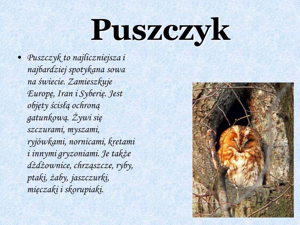 Puszczyk Puszczyk to najliczniejsza i najbardziej spotykana sowa na świecie. Zamieszkuje Europę, Iran i Syberię. Jest objęty ścisłą ochroną gatunkową.