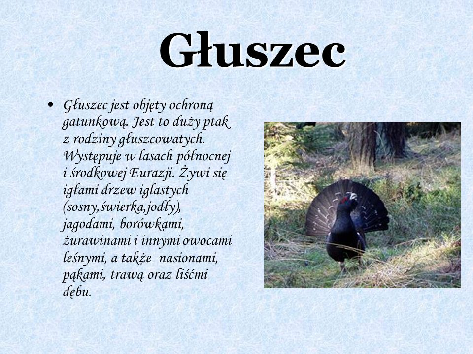 Głuszec Głuszec jest objęty ochroną gatunkową. Jest to duży ptak z rodziny głuszcowatych. Występuje w lasach północnej i środkowej Eurazji. Żywi się i