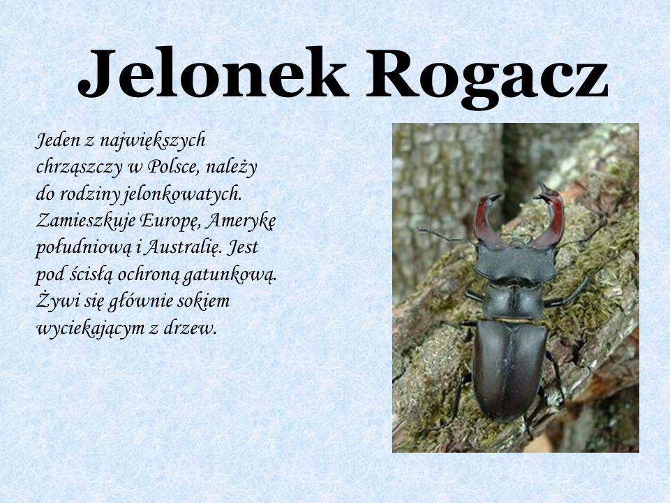 Jelonek Rogacz Jeden z największych chrząszczy w Polsce, należy do rodziny jelonkowatych. Zamieszkuje Europę, Amerykę południową i Australię. Jest pod