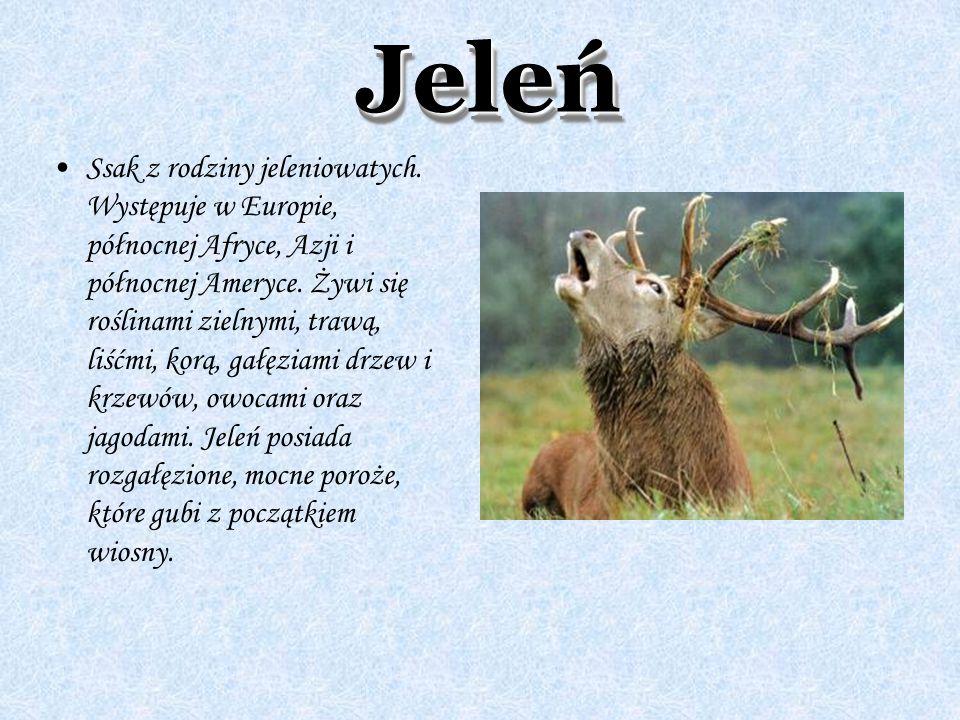 JeleńJeleń Ssak z rodziny jeleniowatych. Występuje w Europie, północnej Afryce, Azji i północnej Ameryce. Żywi się roślinami zielnymi, trawą, liśćmi,
