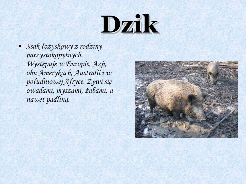 Ssak łożyskowy z rodziny parzystokopytnych. Występuje w Europie, Azji, obu Amerykach, Australii i w południowej Afryce. Żywi się owadami, myszami, żab